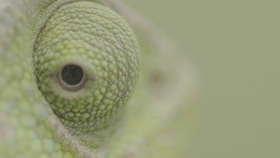 Arabian Chameleon,Extreme Close up of Rotating Eye