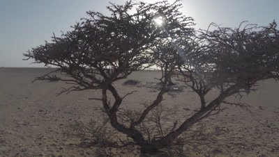 Crane shot,Backlit Acacia Tree in Desert