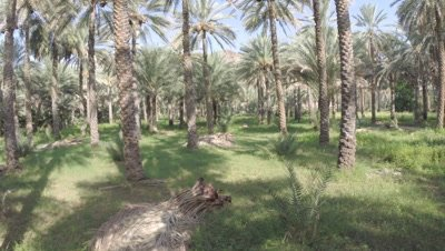 POV Travel Through Date Palm Plantation,Possibly Crane shot