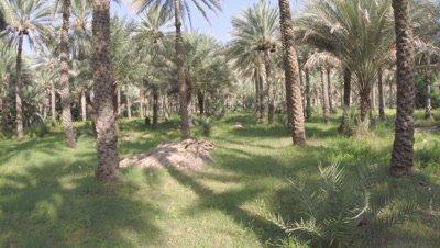POV Travel Through Date Palm Plantation,Possibly Crane shot