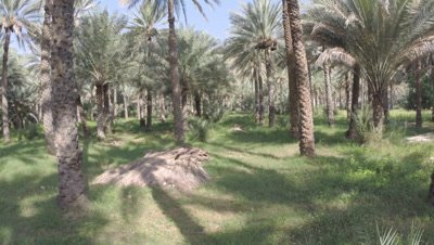 Travel Backward Through Date Palm Plantation,Possibly Crane shot