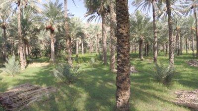 Travel Through Date Palm Plantation,Possibly Crane shot