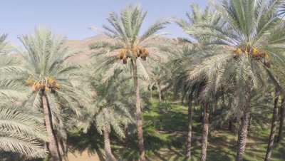 Travel Height of Date Palm Plantation,Possibly Crane shot
