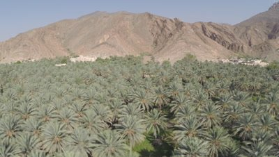 Overlook Panorama of Date Palm Plantation in desert