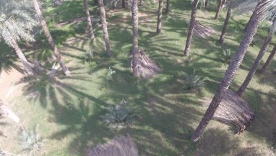 Travel Through Date Palm Plantation from Top of Trees,Possibly Crane shot