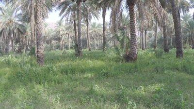 POV Travel Through Date Palm Plantation at Ground Level