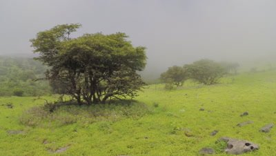 Lush Green Landscape of Wadi Darbat During Monsoon Season,Possibly Frankincense Tree