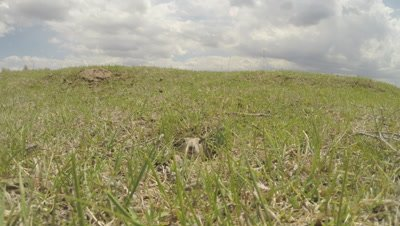 Asia Minor Ground Squirrel Peeks from Burrow in Grassy Field