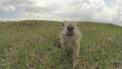 Asia Minor Ground Squirrel Exits Burrow,Sniffs Camera,Stands,Goes Back in