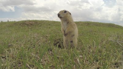 Asia Minor Ground Squirrel Exits Burrow,Stands,Runs Away