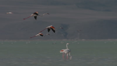 slow Motion,Greater Flamingos Fly Over,Land on Marsh or Lake