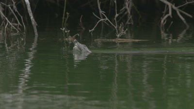 Nile Softshell Turtle comes up for air