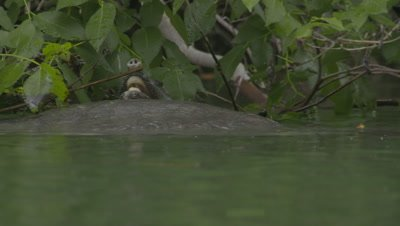 Nile Softshell Turtles Mate on Surface of River