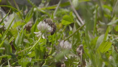 Bee Feeds on Flower in Grass