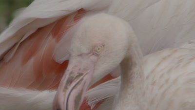 Greater Flamingo,Close Up of feathers