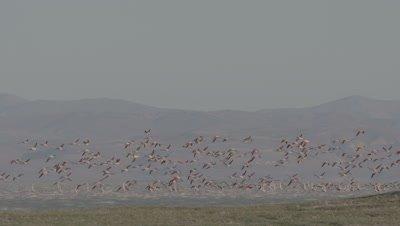 Flock of Flamingos Flies Over Marsh