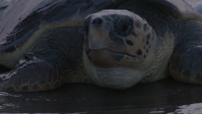 Close up, Loggerhead Turtle Washed by Waves on Nesting Beach