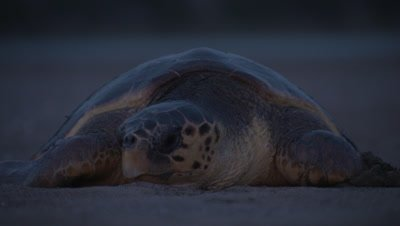 Loggerhead Turtle Crawls Over Sand