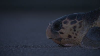 Loggerhead Turtle Crawls Over Sand