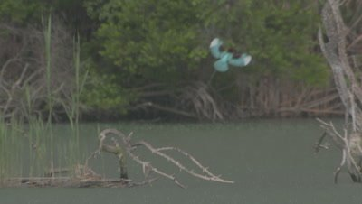 White-throated kingfisher flies above wetland or lake in rain, lands on tree