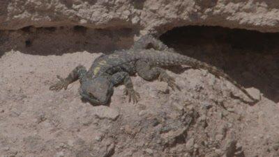 Starred Agama near Rock Crevice