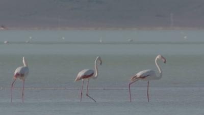 Greater Flamingos Wade, Feed In Sultan Marsh