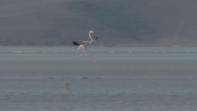 Greater Flamingos In Sultan Marsh