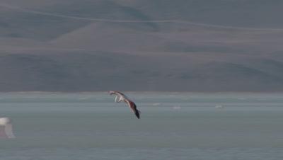 Greater Flamingo Lands In Sultan Marsh