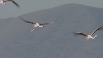 Greater Flamingos Fly Past Mountains At Sultan Marsh
