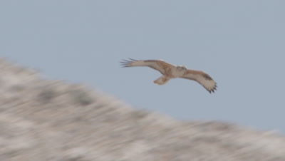 Bird if Prey, Possibly Marsh Harrier, Flies over dry landscape