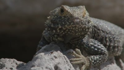 Portrait of Starred Agama