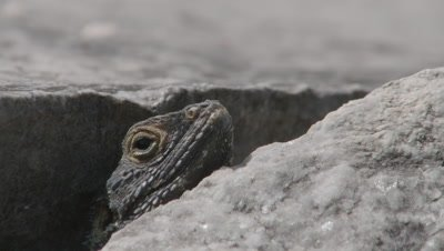 Starred Agama Lizard Among Stone Ruins of Kaunos, Turkey