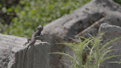 Starred Agama Lizard Travels Among Stone Ruins of Kaunos, Does Push ups