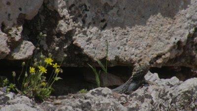Starred Agama Lizard Near Crevice with wildflowers