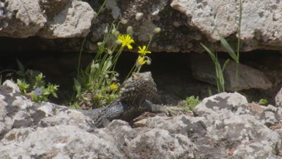 Starred Agama Lizard Near Crevice with wildflowers
