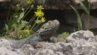 Starred Agama Lizard Near Crevice with wildflowers, does push ups