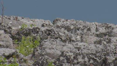 Starred Agama Lizard Scurries Among Stone Ruins of Kaunos, Turkey