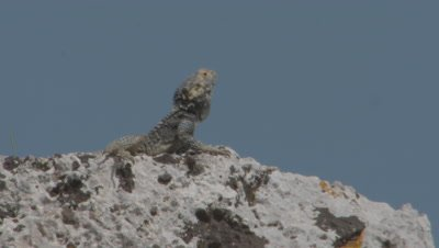 Starred Agama Lizard Displays Among Stone Ruins of Kaunos, Turkey