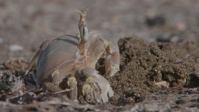 Ghost Crab Digs Burrow
