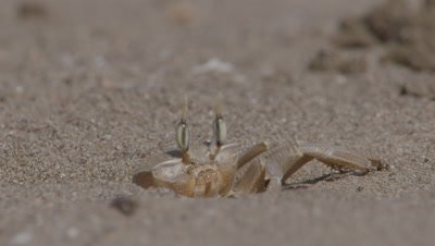 Ghost Crab Enters Burrow