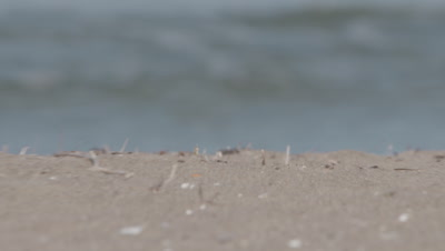 Ghost Crab Scurries On Beach, soft focus Waves Behind