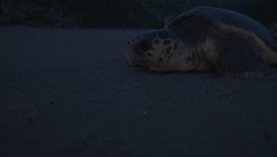 Loggerhead Turtle on Nesting Beach