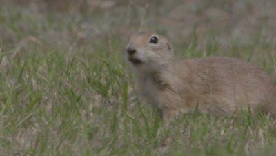 Anatolian Ground Squirrel Feeding On Grass