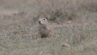 Anatolian Ground Squirrel Runs Toward Camera