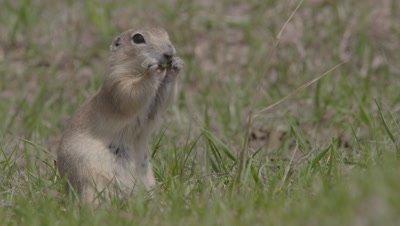 Anatolian Ground Squirrel Stands Upright Feeding On Grass