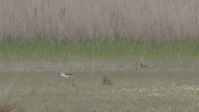 Shorebirds Searching For Food In Reeds