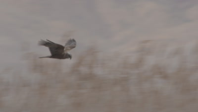 Marsh Harrier flies, Hunts in Wetland