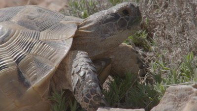 Spur-thighed Tortoise Rests