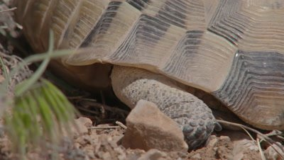 Spur-thighed Tortoise Crawls in Scrub Landscape, Close up shell and feet