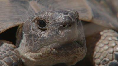 Spur-thighed Tortoise Portrait